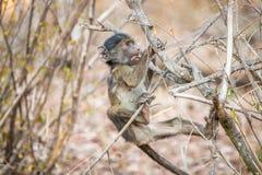 Spielerischer Pavian im Nationalpark Kruger, Südafrika Stockbild