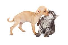 Spielerischer Welpe, der Kätzchen küsst Lizenzfreies Stockfoto