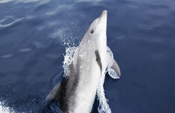 Spielerischer wilder Bottlenose-Delphin Stockfotos