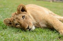 Spielerisches afrikanisches Löwejunges lizenzfreie stockbilder