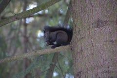 Spielerisches Eichhörnchen lizenzfreies stockbild