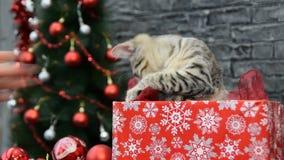 Spielerisches Kätzchen im roten Kasten mit Schneeflocken stock video