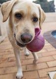 Spielerisches Labrador lizenzfreie stockfotos