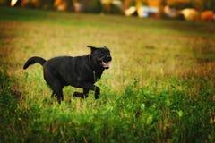Spielerisches Labrador Stockfoto