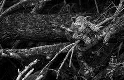 Spielerisches Leopardjunges, das einen Baum in Sabi Sands-Safari-Park, Kruger, S?dafrika klettert stockfotos