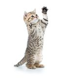 Spielerisches lustiges Kätzchen, das oben schaut Lokalisiert auf Weiß Stockbild