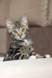 Spielerisches nettes Haus der grauen gestreiften Katze Lizenzfreies Stockfoto