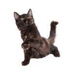 Spielerisches Schwarzes und Tan Domestic Longhair Kitten Stockbilder