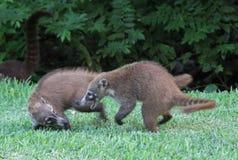 Spielkämpfende Coatis Stockbild