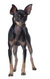 Spielzeug-Terrier Lizenzfreies Stockbild