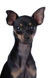 Spielzeug-Terrier Lizenzfreie Stockfotos