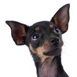 Spielzeug-Terrier Stockbild