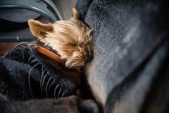 Spielzeug Yorkshires Terrier, schlafend Lizenzfreies Stockfoto
