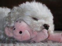 Spielzeugpudel, der angefülltes Schwein streichelt Stockfoto