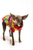 Spielzeugterrierhund in der Hundekleidung Stockbild