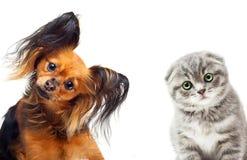 Spielzeugterrierhund und eine Katze Lizenzfreies Stockfoto