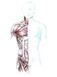 Spieren van hals, schouders, borst en buik Royalty-vrije Stock Foto's
