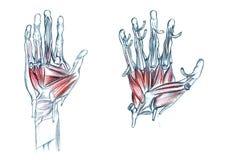 Spieren van hand Stock Foto