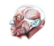 Spieren van hoofd Royalty-vrije Stock Afbeelding