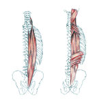 Spieren van rug Royalty-vrije Stock Afbeelding