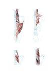 Spieren van rug Royalty-vrije Stock Foto