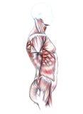 Spieren van rug, schouders, borst, buik en billen Stock Foto