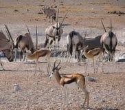 Spiesbok e gazela na associação Imagem de Stock