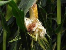 Spiga del granoturco maciullata su cornstalk in FingerLakes NYS immagini stock