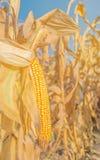 Spiga di frumento del mais sul gambo Fotografie Stock