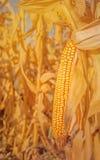 Spiga di frumento del mais sul gambo Fotografia Stock