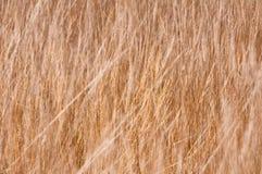 Spighe del granoturco dorate. Fotografia Stock
