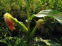 Spighe del granoturco mature sul gambo nel campo Immagini Stock Libere da Diritti