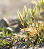 Spighe del granoturco sull'erba Immagine Stock