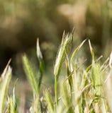 Spighe del granoturco sull'erba Fotografia Stock Libera da Diritti