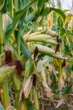 Spighe del granoturco sulle piante Immagini Stock