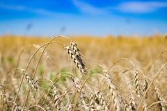 Spighe del granoturco in un campo ed in un cielo Fotografie Stock Libere da Diritti
