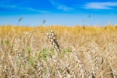 Spighe del granoturco in un campo ed in un cielo Fotografia Stock Libera da Diritti