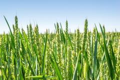 Spighe del granoturco verdi nel campo durante la molla immagine stock libera da diritti