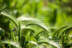 Spighe del granoturco verdi sull'erba sulla natura Immagine Stock
