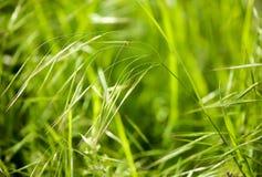 Spighe del granoturco verdi sull'erba sulla natura Immagini Stock Libere da Diritti