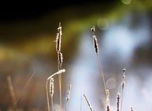 Spighette Fotografie Stock