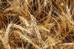 Spighette del grano dell'oro, campo di agricoltura dei cereali Immagini Stock