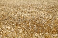 Spighette del grano dell'oro, campo di agricoltura dei cereali Fotografia Stock