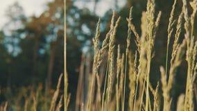 Spighette dell'ondeggiamento dell'erba nel vento video d archivio