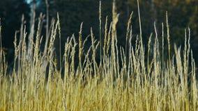 Spighette dell'ondeggiamento dell'erba nel vento stock footage