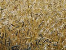 Spighette dell'oro di grano Il campo di luglio è un giorno caldo e soleggiato Fotografia Stock
