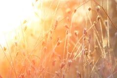 Spighette di erba contro un sol levante Immagini Stock