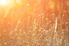 Spighette di erba contro un sol levante Fotografie Stock