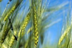 Spighette di giovane primo piano del grano Orecchie di grano non maturo verde Fotografie Stock Libere da Diritti