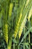 Spighette di giovane primo piano del grano Orecchie di grano non maturo verde Fotografia Stock Libera da Diritti